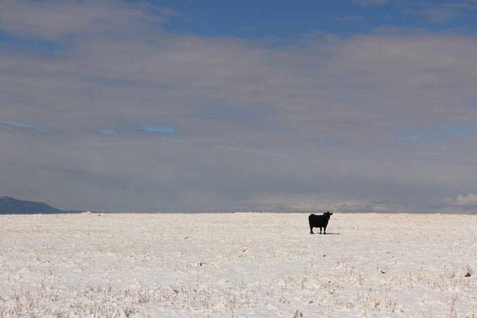A cow standsin a snowy pasture in Wallowa County, Oregon, the epicenter of the state's conflict over gray wolf recovery. Open range cattle die for many reasons, but wolves have added stress to ranchers' operations.