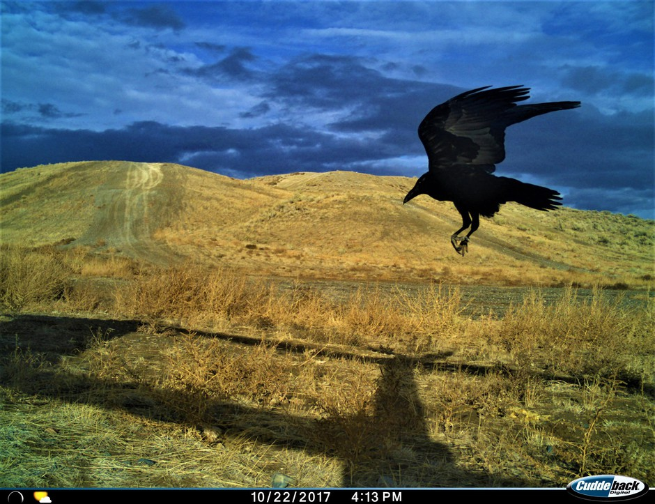A raven flies by a trail camera near bait that researcher Lindsey Perry placed.