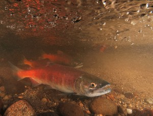 Kokanee salmon, a landlocked species that spends its entire life cycle in freshwater.