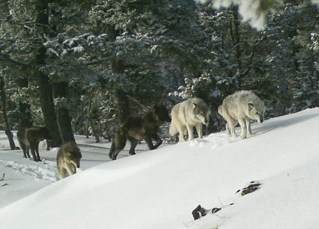 In this Feb. 1, 2017, file image provided the Oregon Department of Fish and Wildlife, a wolf pack is captured by a remote camera in Hells Canyon National Recreation Area in northeast Oregon. Oregon wildlife officials will allow a cattle rancher to kill two wolves from a new pack in Baker County along the Idaho border.