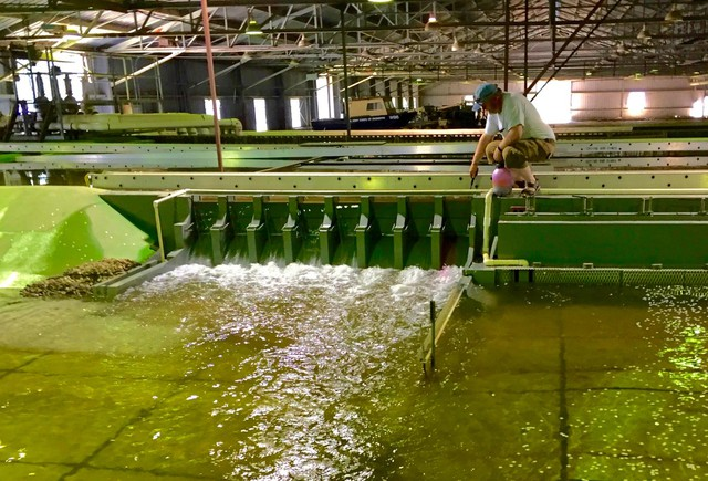 Sean Milligan of the U.S. Army Corps of Engineers Walla Walla District sends hot pink dye through the spill bay of the Little Goose Dam model in Vicksburg, Mississippi.