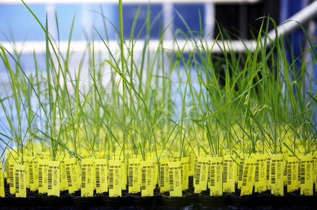 Genetically modified rice plants.