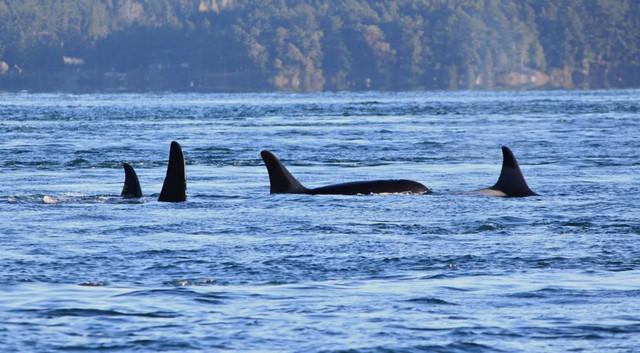 A photo taken November 29, 2014, in Speiden Channel, north of San Juan Island.  J32 Rhapsody is in the lead, on the right. J32 Rhapsody was reported dead on Dec. 4, 2014.