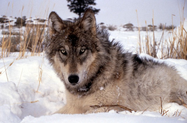 The Oregon Court of Appeals will reconsidera lawsuit against the state over its decision to remove the gray wolf from the state's endangered species list.