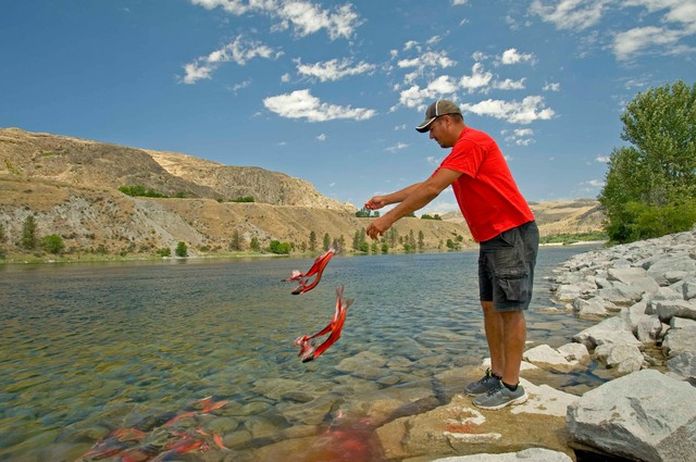 Colville fisherman Randy Friedlander tosses carcasses of downstream salmon at the base of Grand Coulee Dam to honor ancestors and show salmon the way when fish runs are restored.