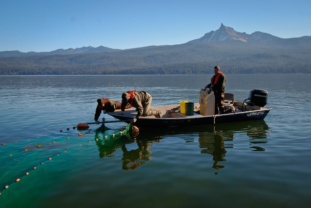 A team from ODFW sampled for tui chub in Diamond Lake in 2007 but did not find any. In 2015 the non-native fish had returned.