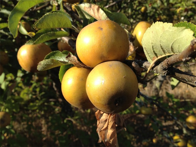 Russetted apples, like Russett potatoes, can have a rough, brown skin.