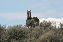 Majesty, a stallion
