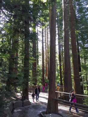 The redwood grove is one of the many highlights of the first leg of the Wildwood Trail.
