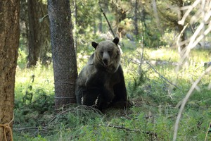 A grizzly bear, with its leg in a snare and a tranquilizer dart in its shoulder, is minutes from falling asleep. Researchers will fit it with a GPS collar.