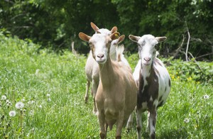 Yoga meets goats ... in Oregon.