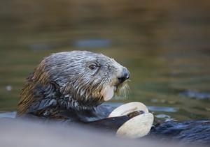 Judge, an otter at the Oregon Coast Aquarium, eats a clam.