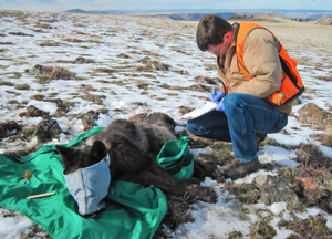 A biologist with the Oregon Department of Fish and Wildlife is shown in the process of collaring wolf OR-33, on Feb. 25, 2015. OR033 was illegally killed in Klamath County sometime before last spring.