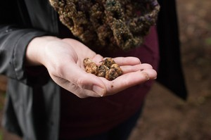 A person holds freshly gathered truffles at the Oregon Truffle Festival in this undated photo.