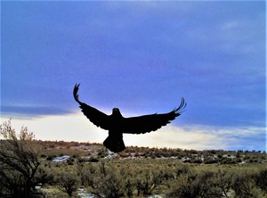 A raven lands to eat bait that researcher Lindsey Perry placed earlier.