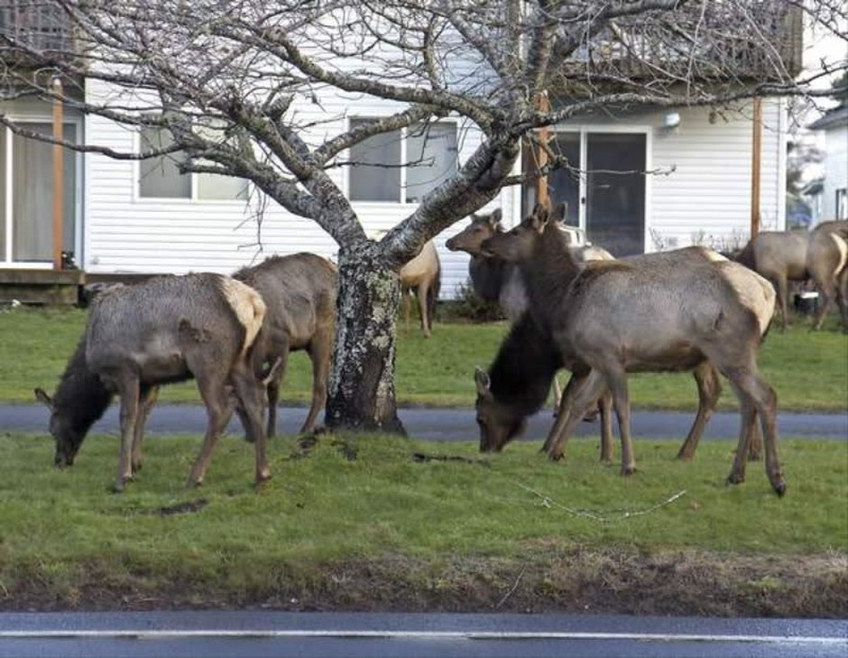 An elk herd moving through Hammond came close to roads, causingseveral vehicles to slow down.