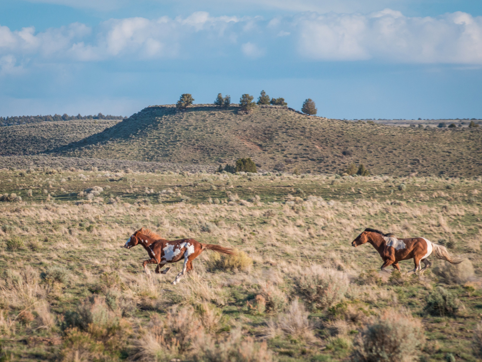 New Oregon Field Guide Special Examines Mustangs of Oregon ...